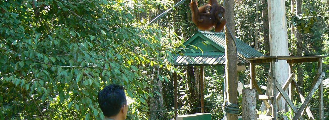 Man looking at Orangutan in tree